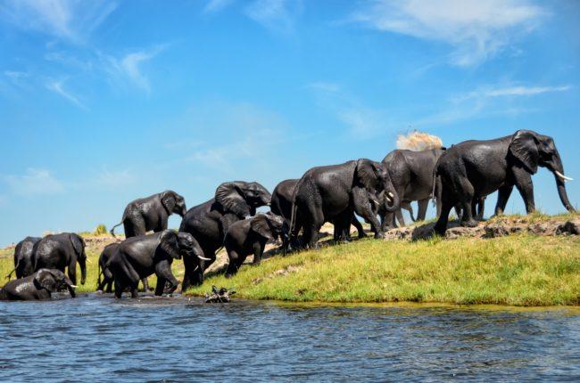 Elefantenherde, Afrika
