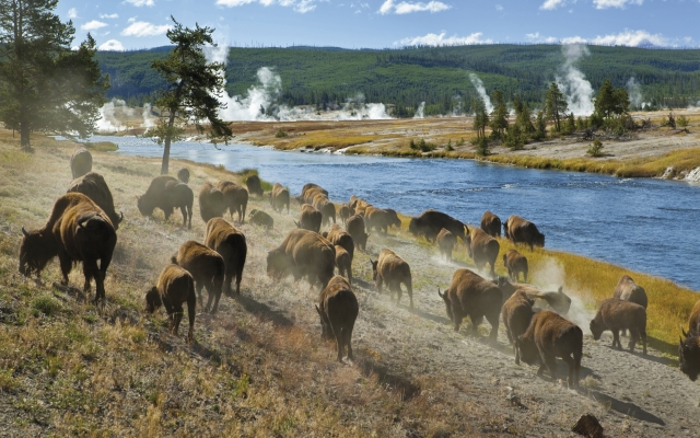 Bisonherde im Yellowstone-Nationalpark