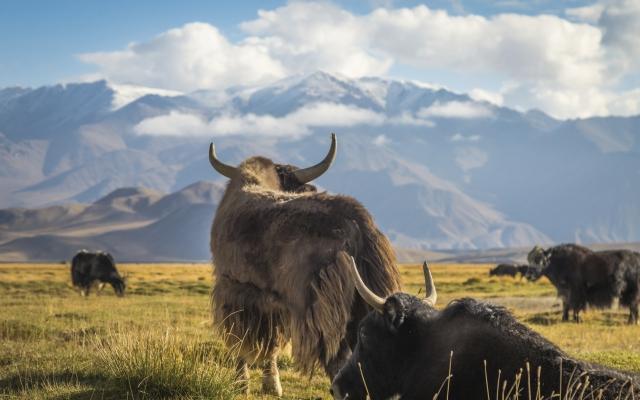 Yaks vor großartiger Hochgebirgskulisse