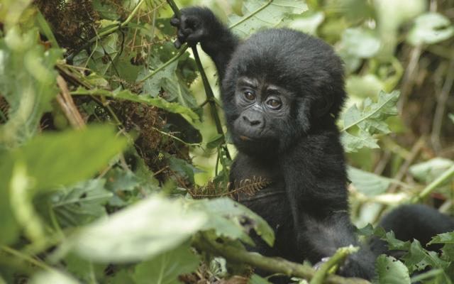Begegnung mit einem Gorilla-Baby