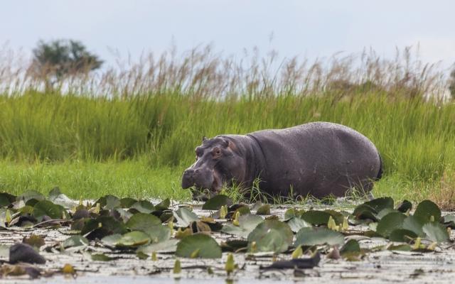 Ein Flusspferd
