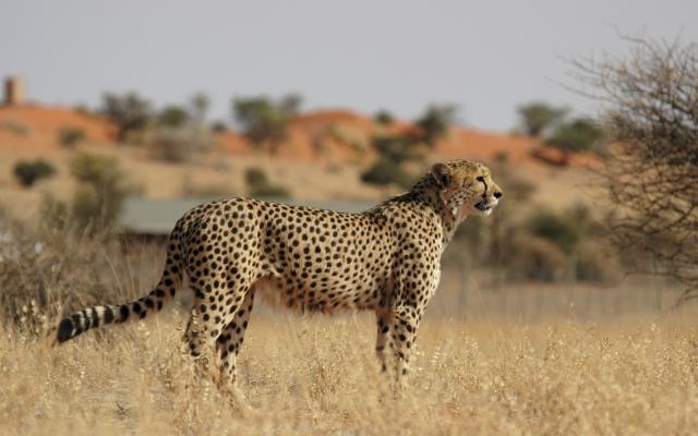 Gepard in der Kalahari