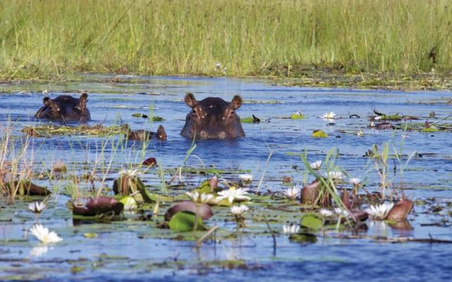 Neugierige Flusspferde