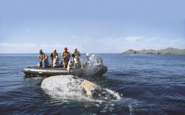 Hautnahe Begegnung mit einem Grauwal