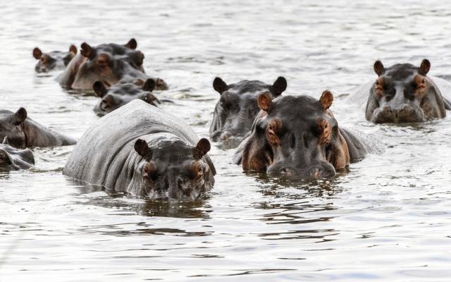 Wachsame Flusspferde