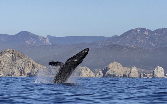 Buckelwal vor Cabo San Lucas
