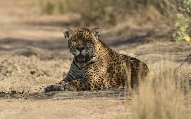 Jaguar im Kaa Iya-Nationalpark