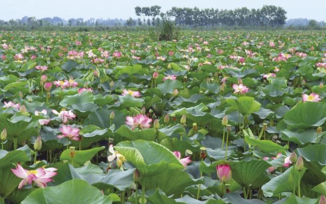 Lotusblüten auf einem Feld